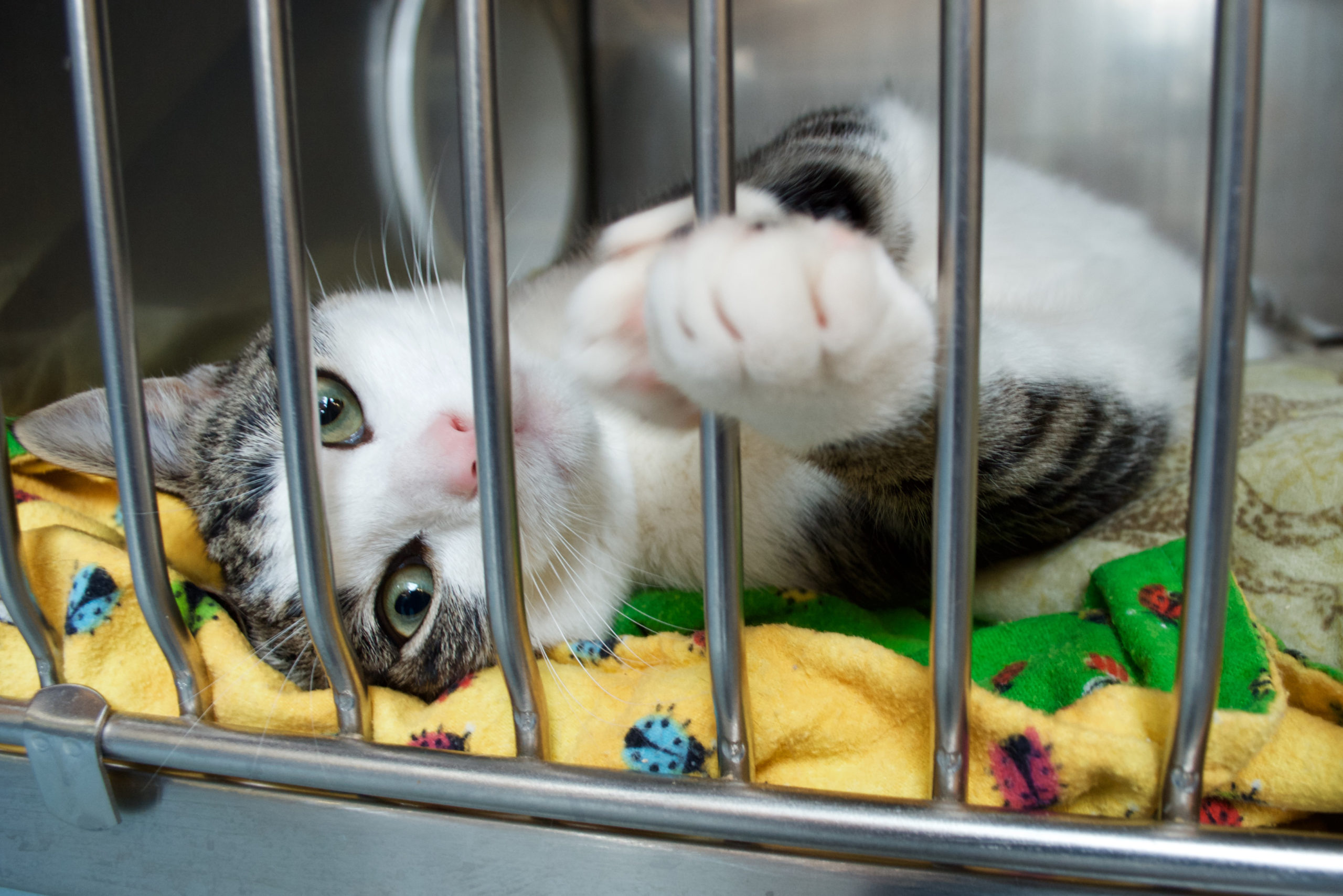 A rescue kitten reaches a paw out of its cage at an animal rescue