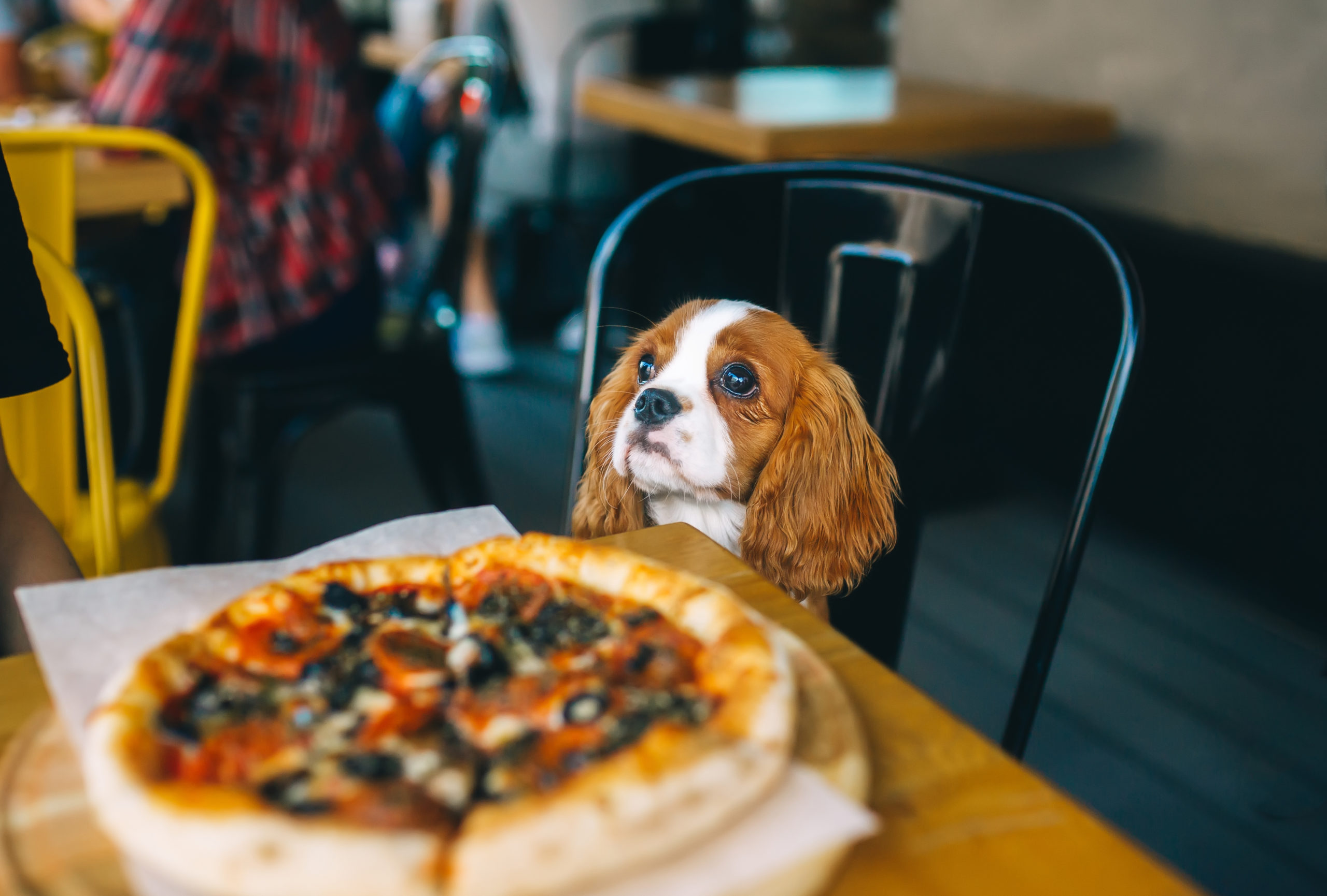 Puppy sitting at the table in front of pizza | dog-friendly restaurants in Arlington, VA